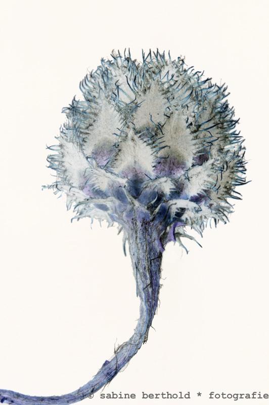 Prunella vulgaris von einer Almwiese unterhalb des Eibsees